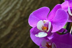 Orchideebloem in tropische tuin De bloem van de Phalaenopsisorchidee het groeien op Tenerife, Canarische Eilanden Stock Foto