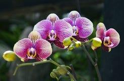 Orchideebloem in tropische tuin De bloem van de Phalaenopsisorchidee het groeien op Tenerife, Canarische Eilanden orchideeën Stock Afbeelding