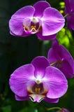 Orchideebloem in tropische tuin De bloem van de Phalaenopsisorchidee het groeien op Tenerife, Canarische Eilanden orchideeën Stock Foto