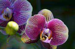 Orchideebloem in tropische tuin dichte omhooggaand De bloem dichte omhooggaand van de Phalaenopsisorchidee Stock Fotografie