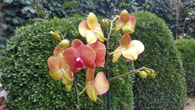 Orchideebloem in tuin Royalty-vrije Stock Foto's