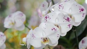 Orchideebloem in tuin bij de winter of de lentedag voor prentbriefkaarschoonheid en het conceptontwerp van het landbouwidee stock video