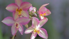 Orchideebloem in tuin bij de winter of de lentedag voor prentbriefkaarschoonheid en het conceptontwerp van het landbouwidee stock videobeelden