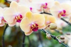 Orchideebloem in tuin bij de winter of de lentedag voor prentbriefkaarschoonheid en het conceptontwerp van het landbouwidee Roze  stock foto