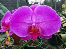 Orchideebloem in tuin bij de winter of de lentedag stock foto's