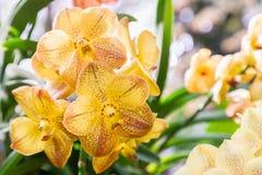 Orchideebloem in tuin bij de winter of de lentedag voor prentbriefkaarschoonheid en het conceptontwerp van het landbouwidee Vanda stock foto's