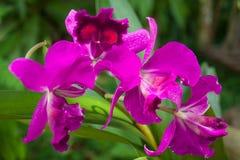 Orchideebloem in tuin in Thailand Mooie bloem stock foto