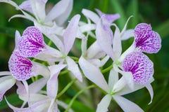 Orchideebloem in tuin in Thailand Mooie bloem stock fotografie