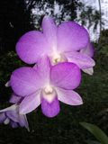 Orchideebloem van Sri Lanka royalty-vrije stock fotografie