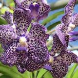 Orchideebloem van Thailand Stock Afbeelding