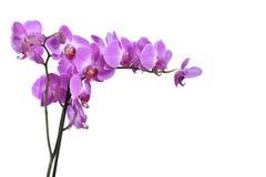Orchideebloemen royalty-vrije stock afbeeldingen