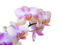 Orchideebloemen Stock Foto
