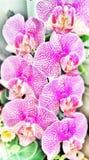 Orchideebloemen Stock Afbeelding