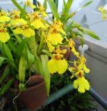 Orchideebloemen in tuin Stock Afbeeldingen