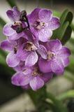 Orchideebloesem Stock Afbeelding