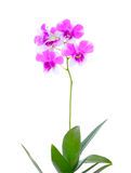 Orchideeblume getrennt Stockfotografie