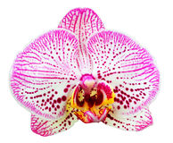 Orchideeblume getrennt lizenzfreie stockbilder