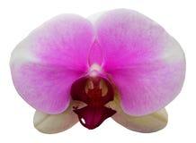 Orchideeblume getrennt stockbilder