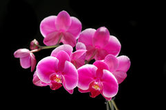 Orchideeblume getrennt auf Schwarzem Stockfotografie