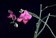 Orchideeblume mit der Knospe am Zweig Lizenzfreie Stockfotografie