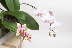 Orchideeblumen Stockfoto