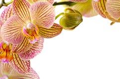 Orchideeblumen auf weißem Hintergrund Stockbilder