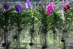 Orchideekinderdagverblijf Gehangen installaties van alle kleuren en met wortels in de lucht stock afbeelding