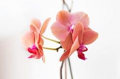 orchideekleur relaxe Stock Afbeeldingen
