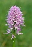 Orchideekursivschrift, orchis italica Stockbilder