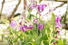 Orchideelandbouwbedrijf in Thailand Stock Foto