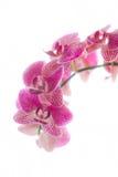 Orchideeën Royalty-vrije Stock Foto