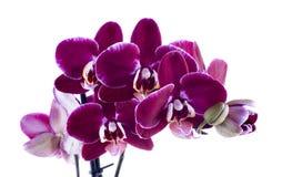 Orchideeën Royalty-vrije Stock Foto's