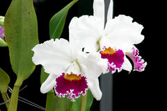 Orchideen 2 Stockfotografie