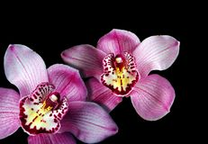 Orchideen auf einem schwarzen Hintergrund Lizenzfreie Stockbilder