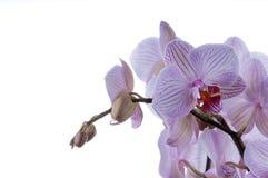 Orchideen auf rechter Seite Stockfotos