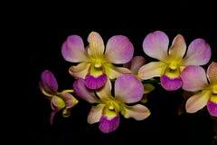 Orchideen auf schwarzem Hintergrund Lizenzfreie Stockfotos