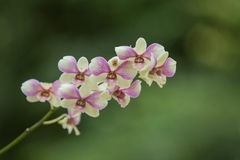 Orchideen-Blüte Lizenzfreies Stockbild