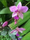 Orchideen-Blume in Ubud, zentrales Bali, Indonesien Lizenzfreies Stockbild