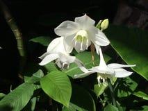Orchideen-Blume in Ubud, zentrales Bali, Indonesien Stockfoto