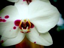 Orchideen-Blumen-Abschluss herauf weißes und rosa lizenzfreies stockfoto