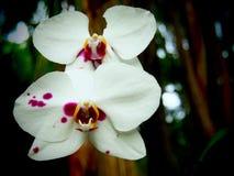 Orchideen-Blumen schließen herauf weißes und rosa stockfotos