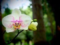 Orchideen-Blumen schließen herauf weißes und rosa lizenzfreie stockfotografie