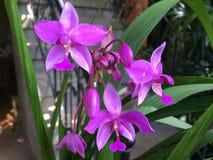 Orchideen-Blumen in Ubud, zentrales Bali, Indonesien Stockfotografie