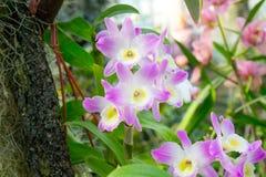 Orchideen-Blumenrosa Stockfotos