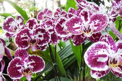 Orchideen - botanische Gärten Singapurs Lizenzfreies Stockfoto