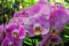 Orchideen - botanische Gärten Singapurs Lizenzfreie Stockfotografie
