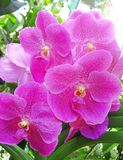 Orchideen - botanische Gärten Singapurs Lizenzfreies Stockbild