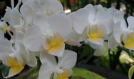 Orchideen - botanische Gärten Singapurs Lizenzfreie Stockbilder