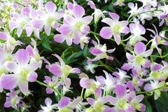 Orchideen - botanische Gärten Singapurs Lizenzfreie Stockfotos