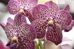 Orchideen, die auf einem Stiel wachsen Stockfotografie